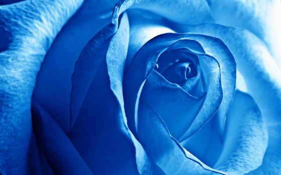 роза, розы, голубые