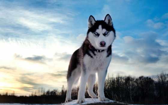 хаски, собака, winter, небо,