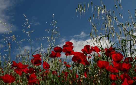 маки, широкоформатные, цветы