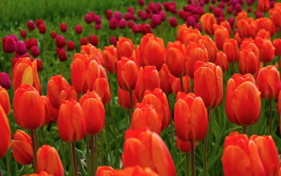 тюльпаны, весна, cvety, красные, заставки, природа, весенние, march, влюбленная, pair,