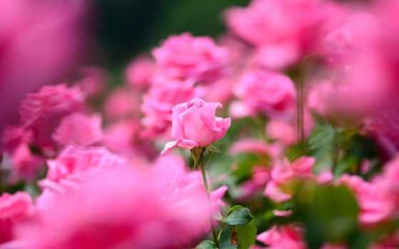 цветы, love, розы, dianka, amazing, фотографий, cvety, именем, вконтакте,