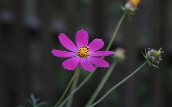 картинка, растение, garden, цветы, flowers, деревня, макро, фон, goodfon,