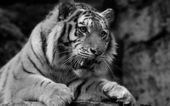 тигр, кот, морда, animal