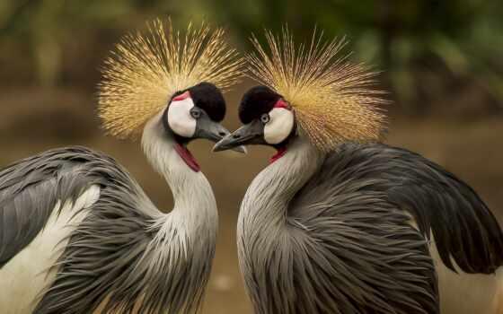 птица, world, crane, продолжительность, видов, grey, crown