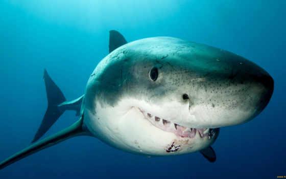 зубастая акула