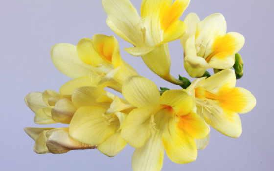 цветы, фрезия, yellow