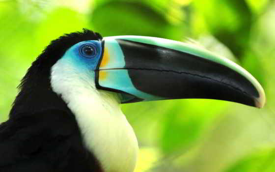 toucan, клюв, птица