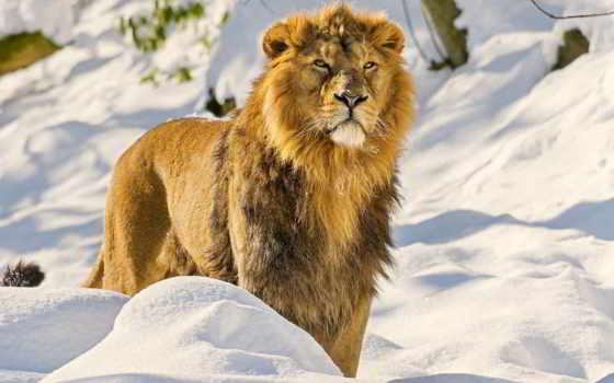 lion, грива, морда Фон № 107936 разрешение 1920x1200