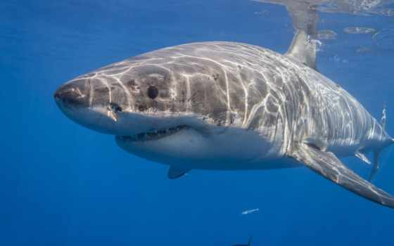 акула, white, great, мужской, swims, size, sharks, cal,