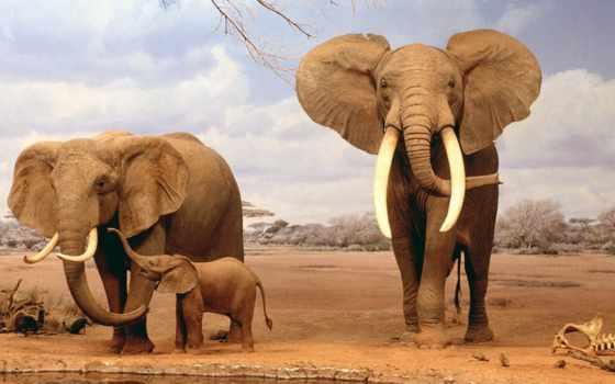 они, слоны, очень, любят, слонов, zhivotnye, удивительные, natural, яndex, museum,