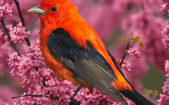 птицы, птица, красная