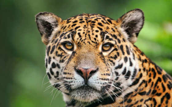 jaguar, красавец, zhivotnye