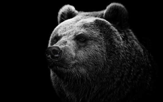 fone, черном, голова, бурого, медведь, медведя, чёрно, белые,