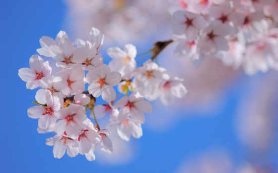 Сакура, цветы, небо