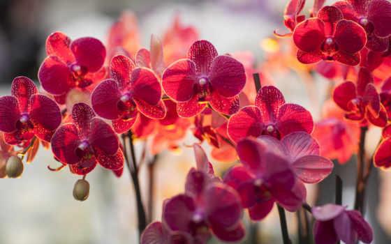 орхидея, цветы, орхидеи