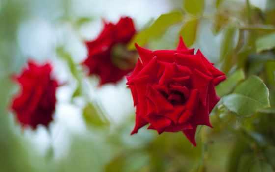 розы, cvety, роза, цветы, бутоны, высоком, качестве, красная,
