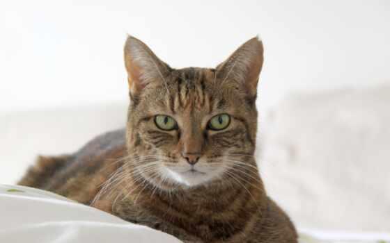 кот, striped, ложь, морда, cough, котенок, собака, feline