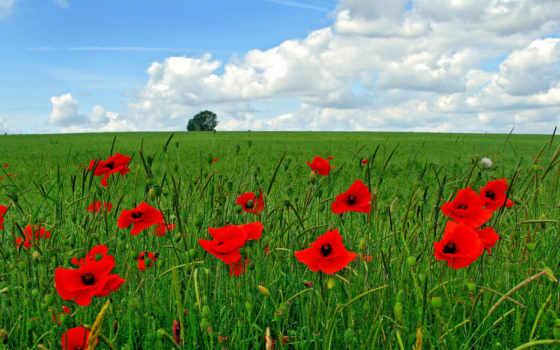 маки, красные, поле