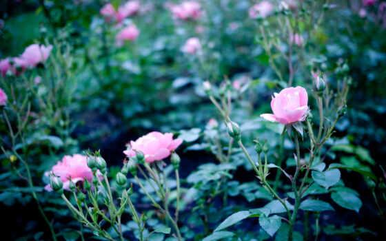 мар, розы, цветы