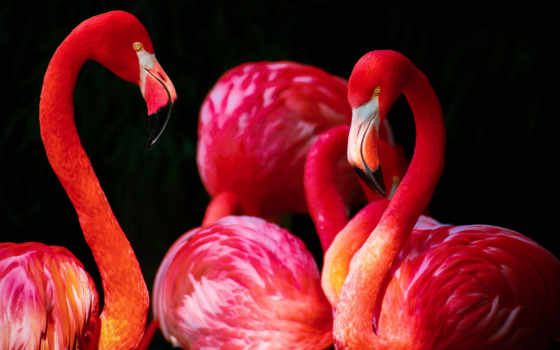 фламинго, free, красные, pixabay, красивые, фоны, images, photos, птицы,