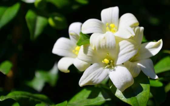 жасмин, flowers, white, цветы, free, вектор,