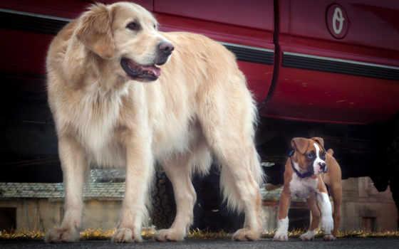 собаки, retriever, зооклубе, золотистый, авто, щенки, зооклуб,