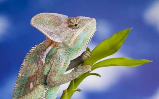 chameleon, free, фон,