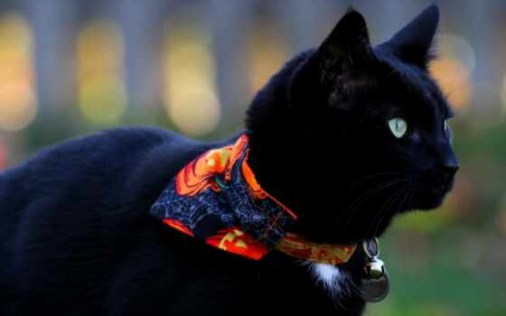 фото, кот, black, красивый, картинка, уж, loaded, best