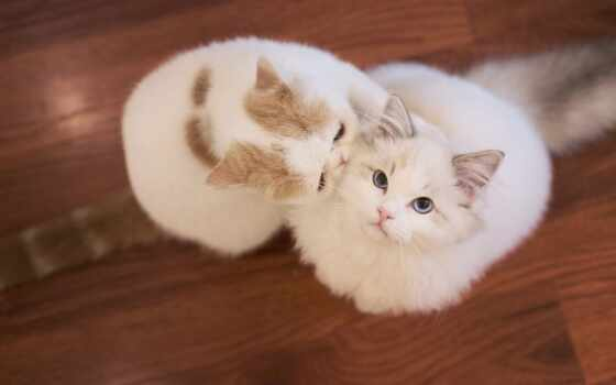 кот, white, cute, два, взгляд, пушистый, top, pet, котенок, mac, пара