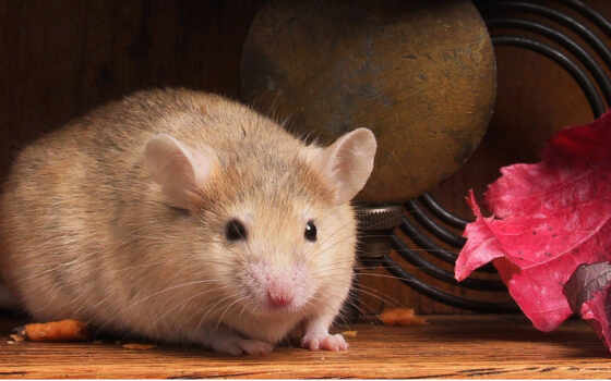 мышками, мышонок