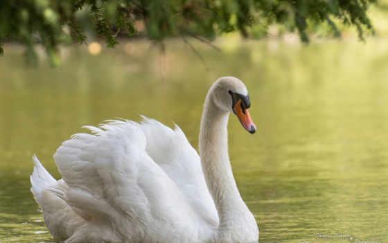 белый лебедь Фон № 27792 разрешение 1920x1200