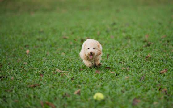 собака, трава, газон, game, собаки, мяч, zhivotnye, пудель, пушистая,