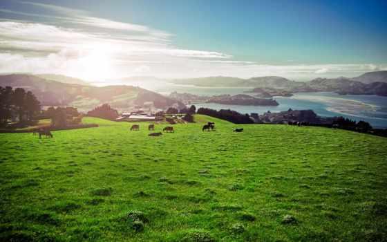 холмы, июнь, теме, коровы,