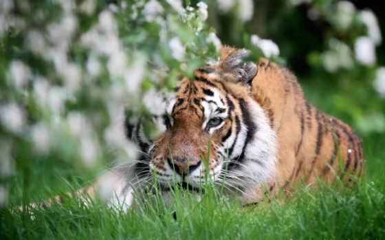 тигр, дикая, кот