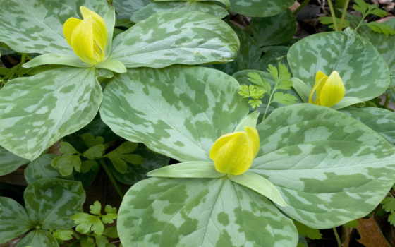 yellow, trillium, flowers, wallpapers, flores, and, природа,