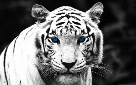 чёрно, свет, снег, белое, леопард, тигр, голубые, шубка, panther, белоснежная,