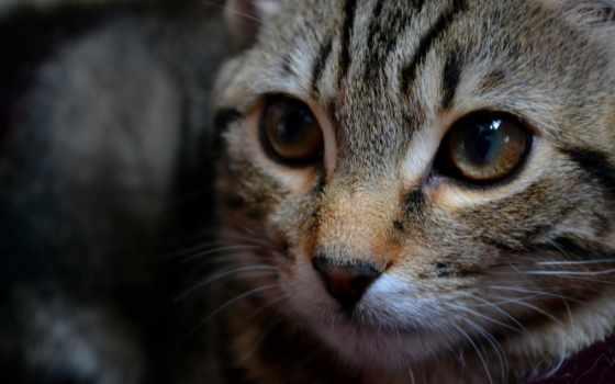 кот, внимательный, striped