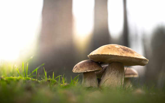 лес, gomba, природа, грибы, трава, музыка, white, mushroom,