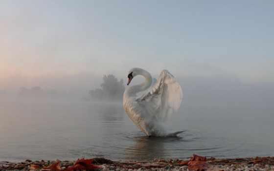 лебедь, сказ, белая, туманным, лебеди, утром, утро, туман, mixture, мар, осень,