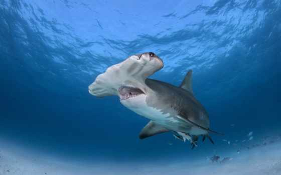 акула, great, white, hammerhead,  sharks,