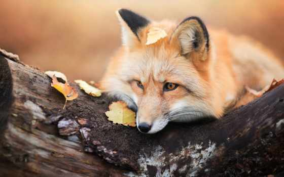 фокс, animal, subscribe, осень, листва, дерево, share, hunting, card