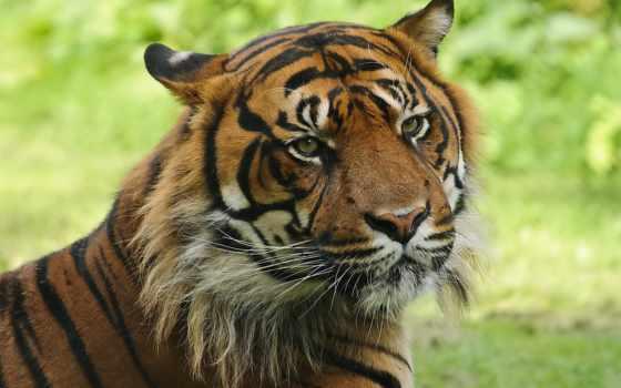 тигр, морда Фон № 19385 разрешение 1920x1200
