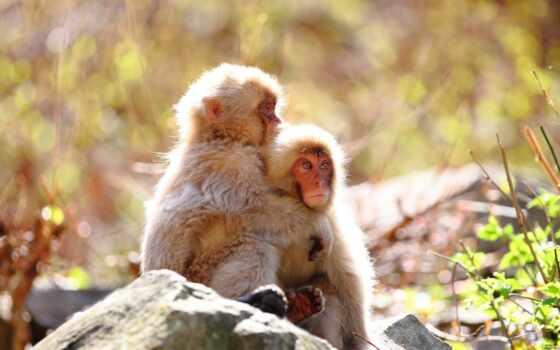 обезьяны, monkeys Фон № 36509 разрешение 1920x1080