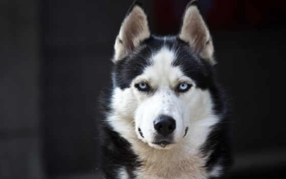 собака, Сибирский хаски