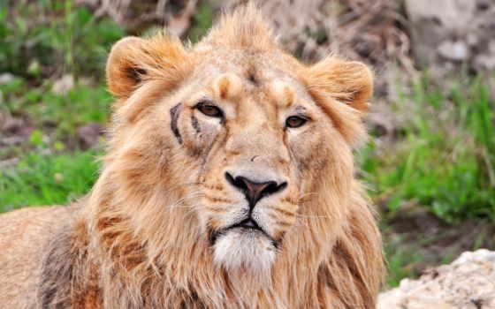 lion Фон № 56847 разрешение 2560x1440