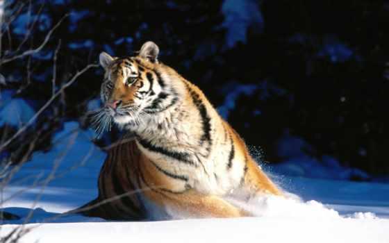 тигр, снегу, тигры, уссурийский, zhivotnye, снег,
