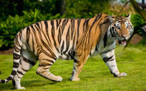 university, state, тигр