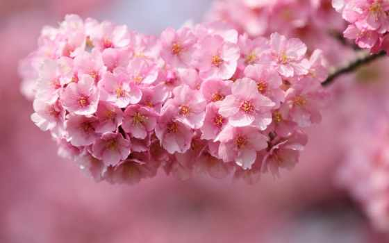 Сакура, cvety, cherry, веточка, дерево, розовые, japanese,