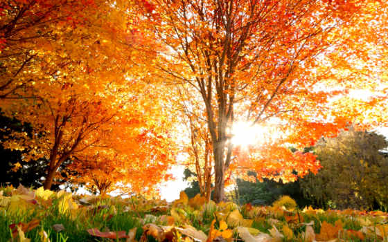 осень, красивые, trees, кленовые, листва, природа, осенние, места, золотая,