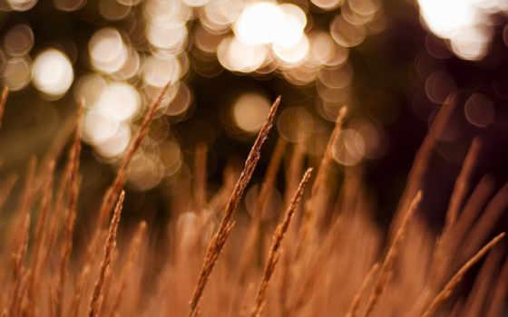 колоски, поле, природа, макро, блики, колосках, трава, фотообои, красивые,